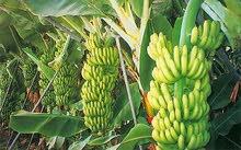 8 هكتار أشجار ليمون وأشجار الموز بير السقي
