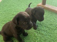 جراوي لبرادور العمر 45 يوم      Labrador