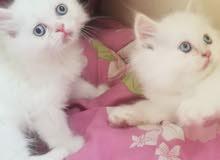 600 per one kitten sherazy or redoll
