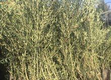 اشجار زيتون توريد وزراعة جميع أنواع اشجار  الزيتون