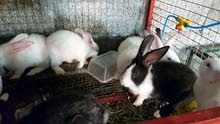 أرانب هولندية
