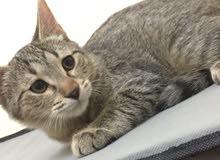 قطه أمريكيه من نوع تايقر عمرها شهرين