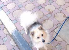 كلب بومرينيان