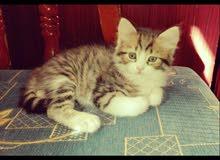 قطط شيرازي مكس للبيع للتواصل الرقم