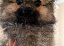كلب للبيع بومرينيان