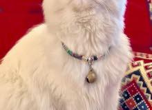 قطة شيرازية نظيفة للبيع
