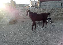 خيل حصان