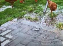 دجاج الدار بياضات وحضانات للبيع بالجمله