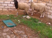 خروف وفطيمة