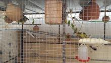 للبيع طيور بادجي محلي منتج