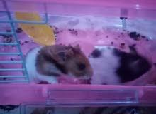 للبيع فأر الهامستر