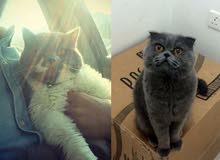 قطط ذكور بريتيش و رشن بلو للتزاوج