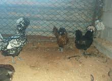 دجاج بانكس العدد4 وديك