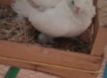 زوج حمام مع البيض