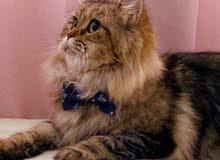 قطة شيرازية منتجة للبيع