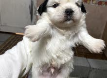 Shih tzu puppies for reservation