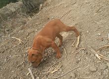 سلام عليكم كلاب بيتبول للبيع الزوج 200 وبيهن مجال