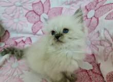 original Himalayan kitten قطه هملايا