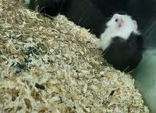 ارنب هندي