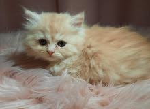 Pure persian cat 45 days old