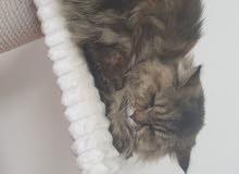 قطتين انثى شيرازي بيور مع كتين