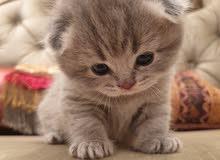 Scottish kittens top quality مستوى عالي سكوتش للبيع