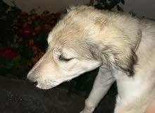 كلب سلوقي أنثى للبدل على كلب ذكر من فصيلة جيرمن شبرد او الهاسكي