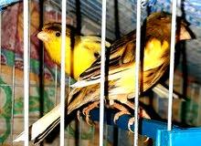 زوج عصافير كناريا شغالين والانثي بايضة للبيع