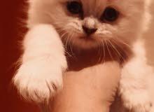 قطه كيوت باقي ما كملت شهر ونص روعه السومه