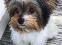 كلب يورك شاير 5 شهور