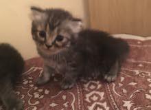 قط او قطه شيرازية عمرها اقل من شهر