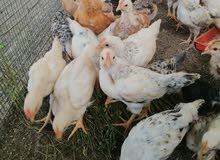 صيصان دجاج فرنسي بيور عمر شهر واسبوع