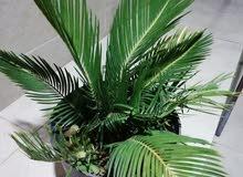 سيكاس (ملكة جمال نباتات الزينة)