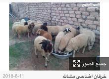 مطلوب حد اينزلي خرفان في طرابلس واني انبيعم وبالنسبه وكل شي بالتفاهم