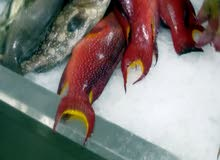 سمك بحر ثول طازة يوميا البيع بالشكة لجده فقط