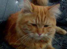 قطه مكس شيرازي مع سيامي  بسعر مغري