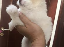 maltese puppeis pur breed