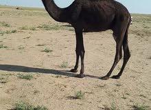 جمل للبيع الموقع السودان يوجد توصيل للكفرة