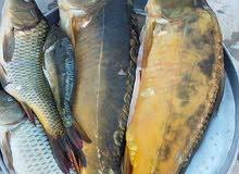 سمك كارب طازج للبيع حي