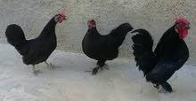 دجاج كيني