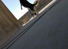كلب هاسكي ذكر العمر9 شهور