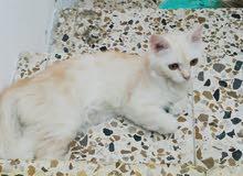للبيع قطط شرازي