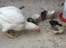 دجاجه هنديه اللون ابيظ اصيله وراها 8 افراخ والابو مجود عندي وتخريجته موجوده