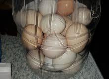 بيض دجاج عرب