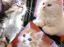 3 Vaccinated kittens