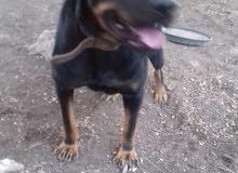 كلب رت وايلر انثى قريب حيال للبيع اوللبدل