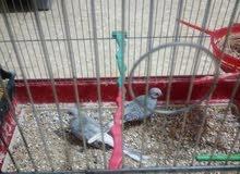 جوزحمام ماسي لون فضي وقفص مطير مع كوخين حب جداد للبيع فقط التسليم البقعة