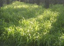 زرع من النوع برومبو