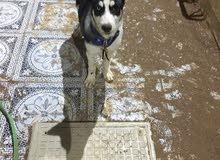 كلب هاسكي بيور للبيع لعدم التفرغ
