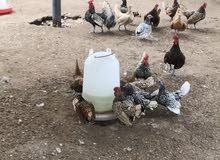 دجاج نوع سبرايت